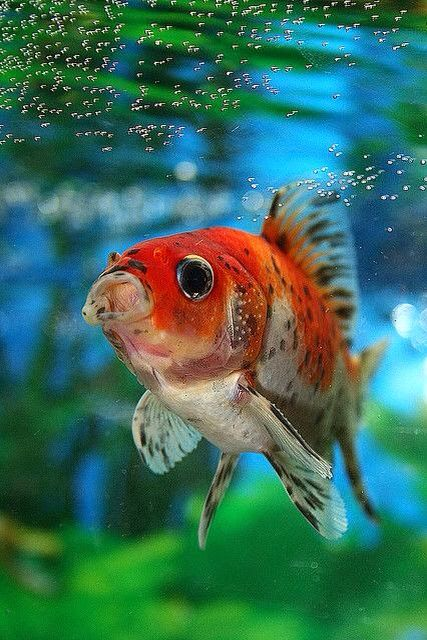 1000 ideas about shubunkin goldfish on pinterest oranda for Shubunkin fische