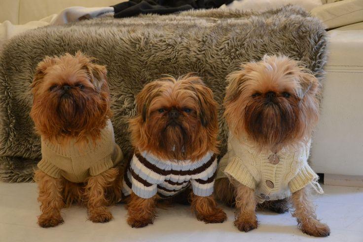 Chewbacca Dog Show Winnter