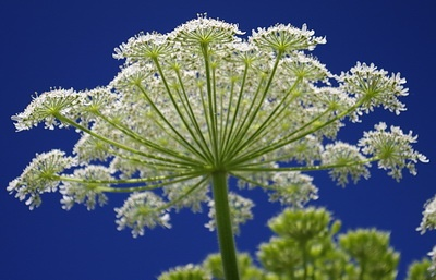Giant Hogweed plant This is Queen  Ann's Lace and butterflies just love it !!