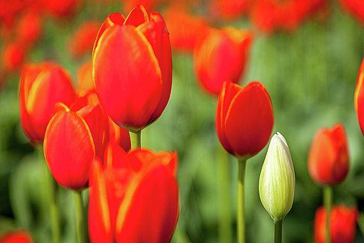 Art Calapatia - Orange Tulips 6