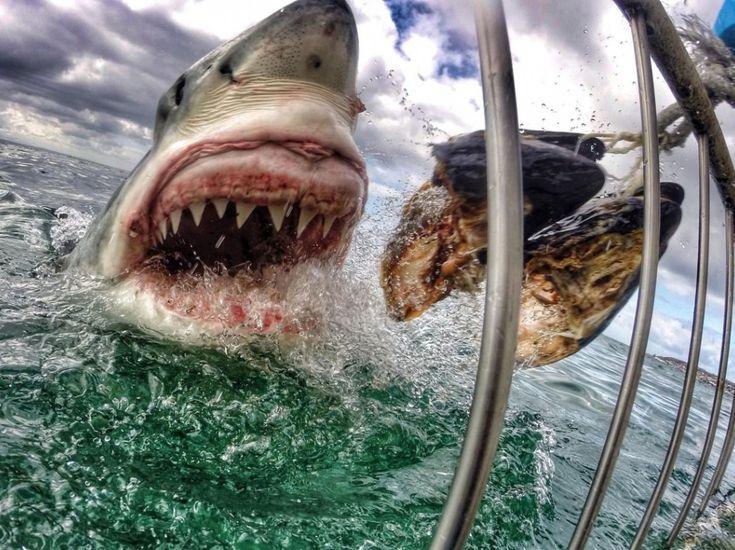 A deux doigts du grand requin blanc