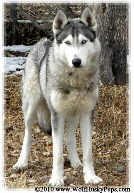 Wolf Husky Mix they're gorgeous I've been reading up on the history and care of these animals and it seems like a good fit for me - I've wanted one for quite a few years now