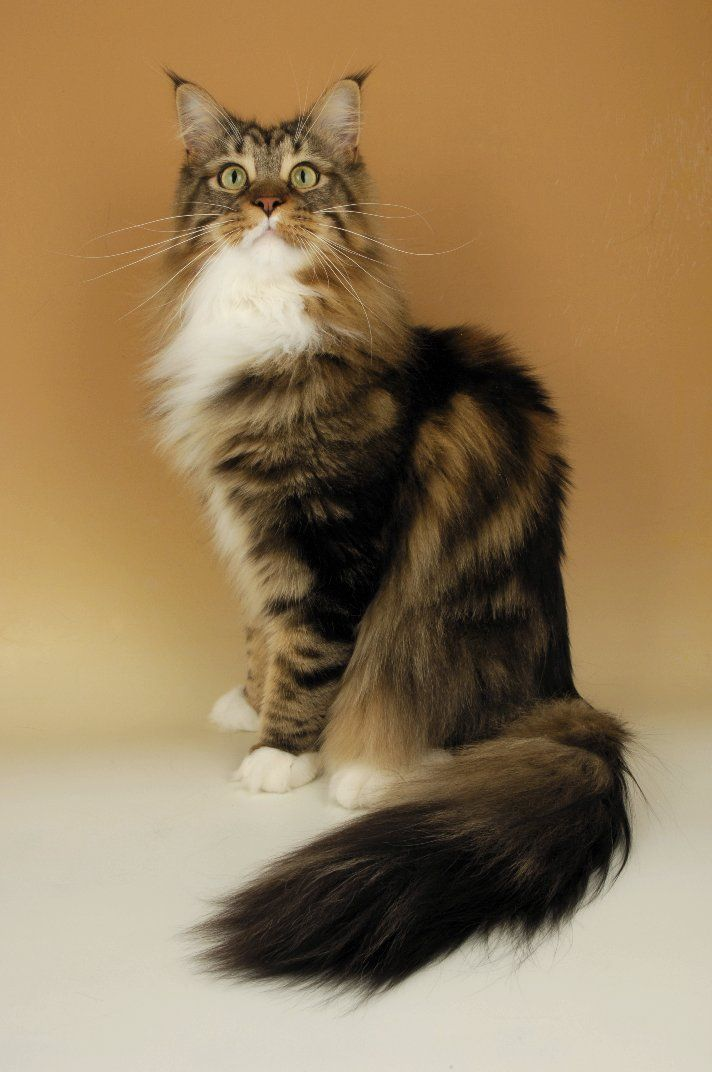 Maine Coon - Cat Breeds : Kittens : Cats