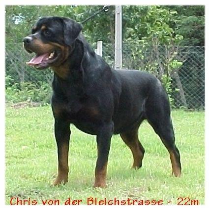 Rottweiler Pictures / chrisbleichstrasse.jpg