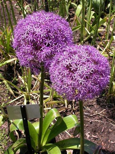 Allium christophii - Star of Persia. Full sun, drought tolerant.