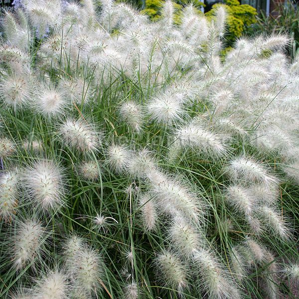 White fountain grass pennisetum setaceum 39 alba 39 thin for Hardy fountain grass