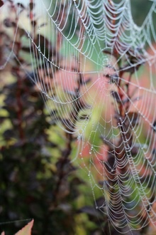 Cobwebs in early morning mist