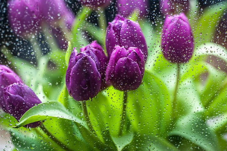 Rainy Tulips 1 by Jenny Rainbow