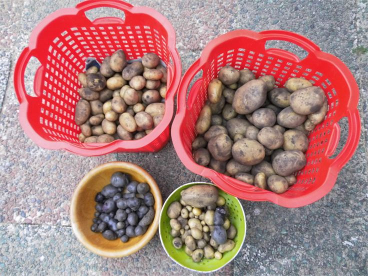 Das ist unsere Kartoffelernte 2015: in den roten Körben die Sorten 'Belana' und 'Lilly', in der Holzschüssel die lila Kartoffelsorte 'Vitelotte', im grünen Metallsieb haben wir die kleinsten Kartoffeln aussortiert. Von denen machen wir dann Drillinge in der Pfanne :-)