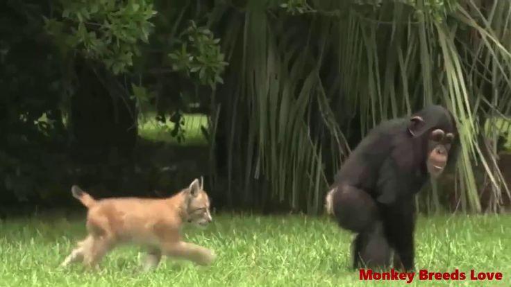 Mono del chimpancé que apareamiento mono del gibón en amor