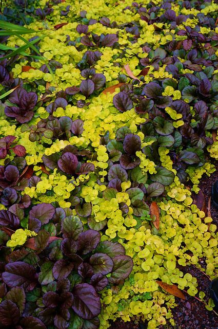 A dark-leaved Ajuga reptans with golden creeping Jenny (Lysimachia nummularia 'Aurea')