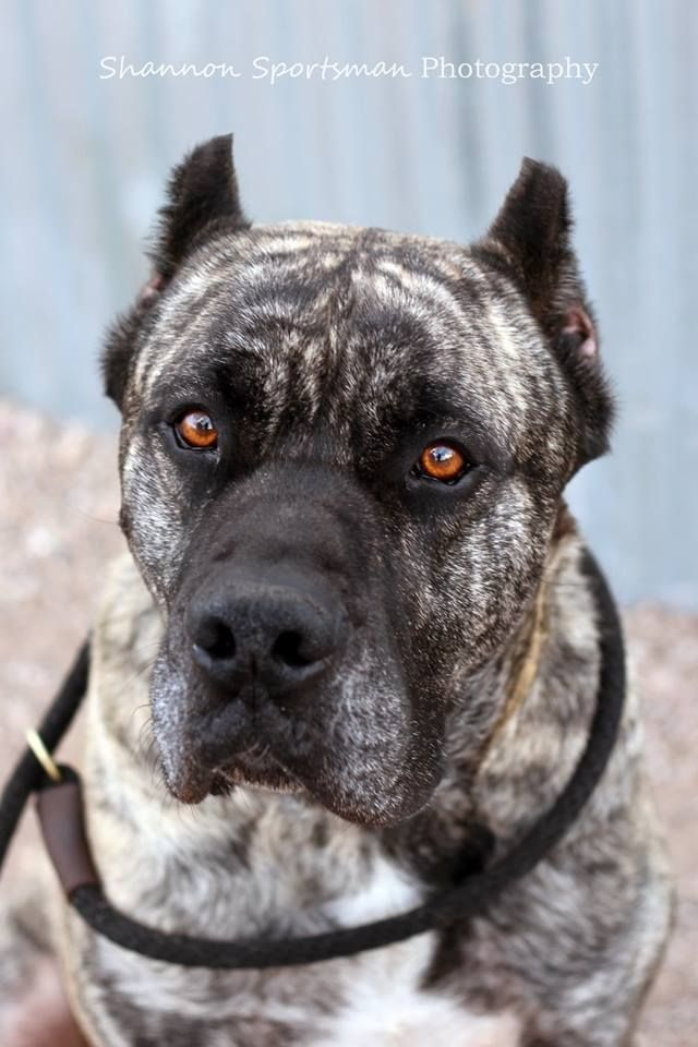 """Cuba is a very loyal, people pleasing dog who is generally mild mannered and a delight to be around. He is quiet, clean, and protective of his home and people.""  Check out his page for adoption information!"