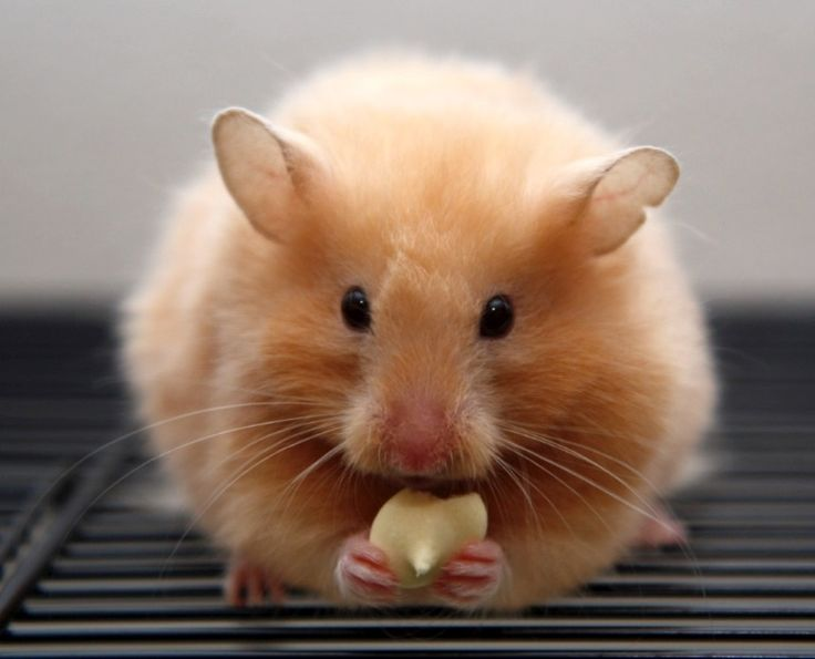 25 best ideas about bear hamster on pinterest