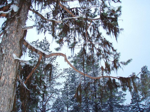 pine forest in kaamanen | Flickr - Photo Sharing!