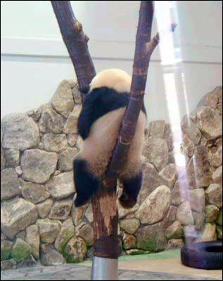 木の上で座って寝るパンダ - GIGAZINE