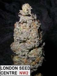 Grapegod - 5 Feminised Seeds  Our special large production fruity Indica strain that we've been working on for over a decade. Perfect for all growers in any grow method. * Recommended for medical users due to its sedative qualities. Flowering Time: Indoors: 55 days Outdoors: October 1