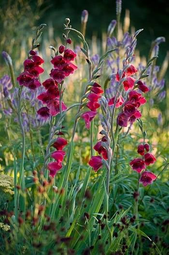 PETTIFERS GARDEN, OXFORDSHIRE. GLADIOLUS PAPILIO 'RUBY' IN A BORDER WITH…
