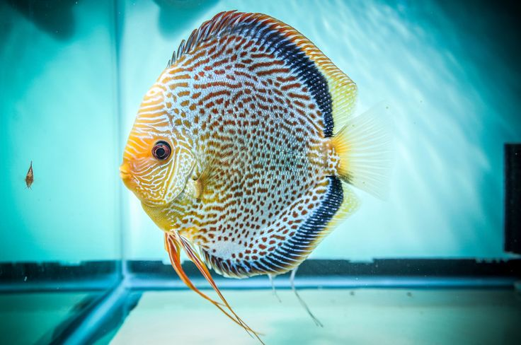 194 Best Beautiful Discus I Love Images On Pinterest