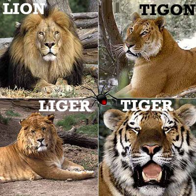 Animaniac My Specials - Hybrid Theory: Liger & Tiglon  image: Lion, liger, tiger, tiglon, can you spot the differences?