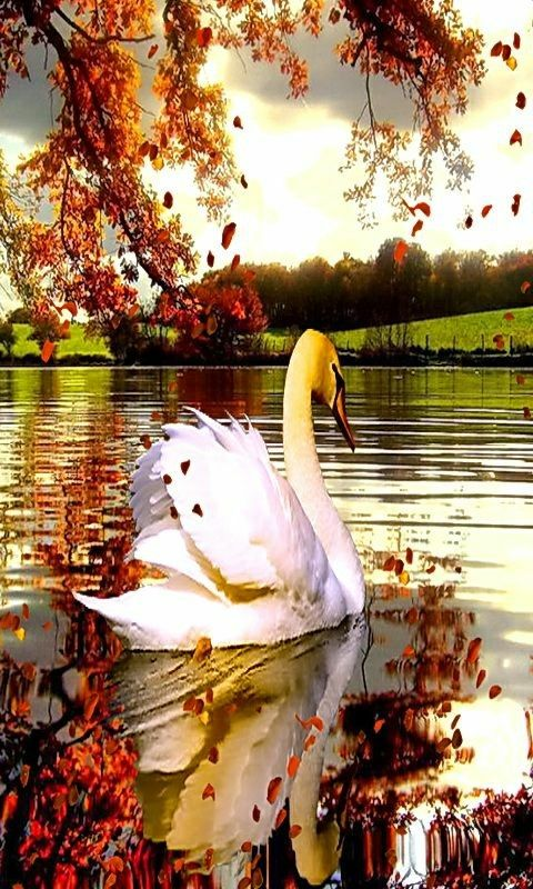 772 best swans images on pinterest swans bird and scenery all alone on the lake swansprincessesnational parksswan lakefacebook croatiabirdsprincessstate parks sciox Image collections