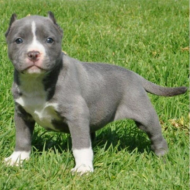 Cute blue pit puppy