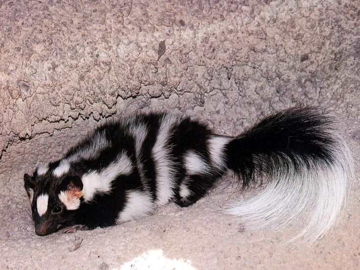 The squirrel-sized skunk is the smallest skunk in the southwest and the only one known to climb trees. Description from jimcloer.blogspot.com. I searched for this on bing.com/images