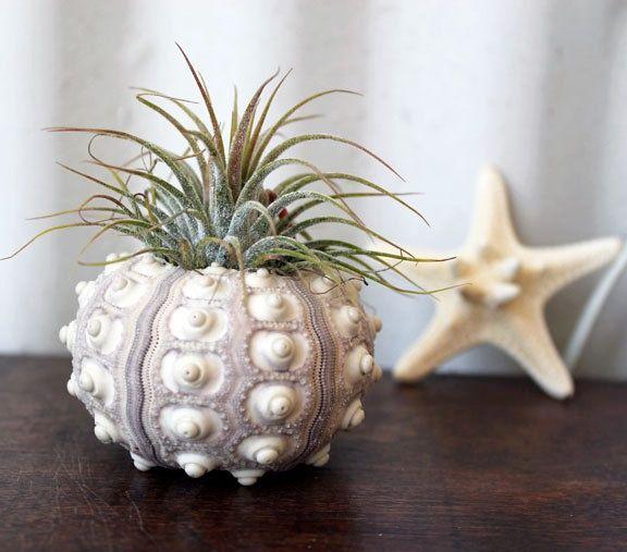 air plants identification large pineapple air plant tillandsia urchin decorating id. Black Bedroom Furniture Sets. Home Design Ideas