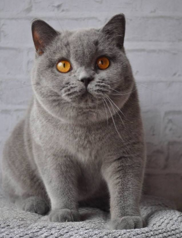 Pin By Proudwhiskers Com Cat Breeds On Beautiful Cats Photography Kittens Cutest Cute Cats Grey Cats