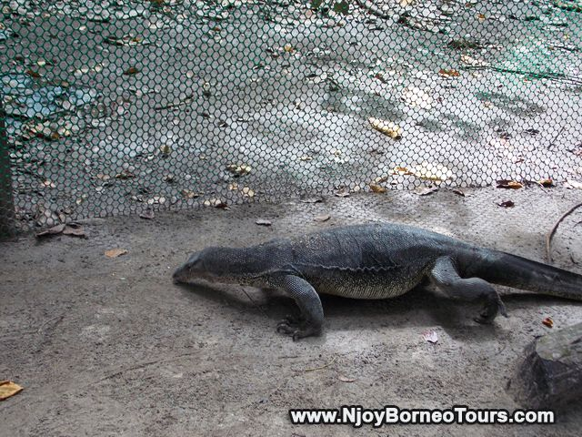 Comodo dragon, one of the attraction at Sapi Island