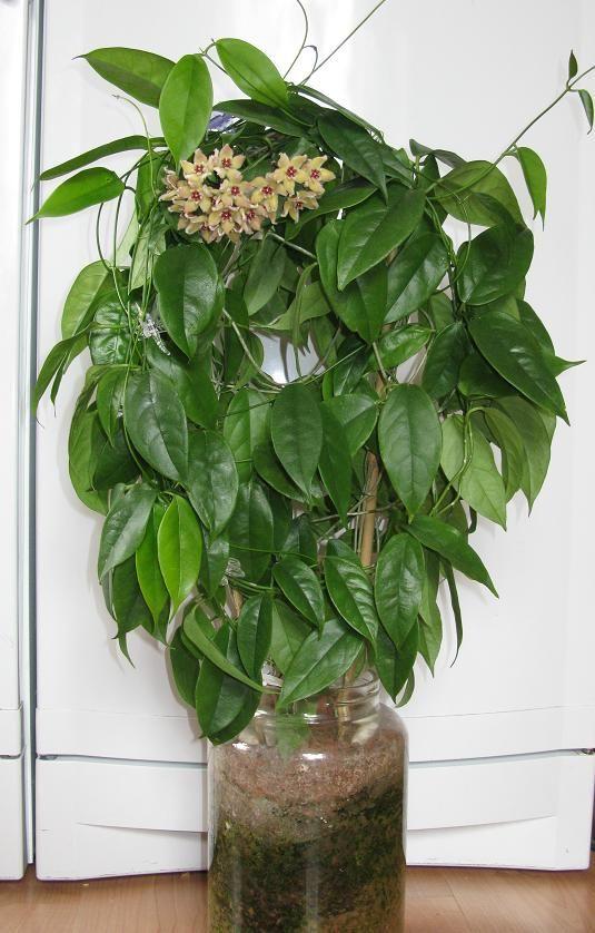 300 besten zimmerpflanzen bilder auf pinterest zimmerpflanzen garten und saftig - Zimmerpflanzen groay ...