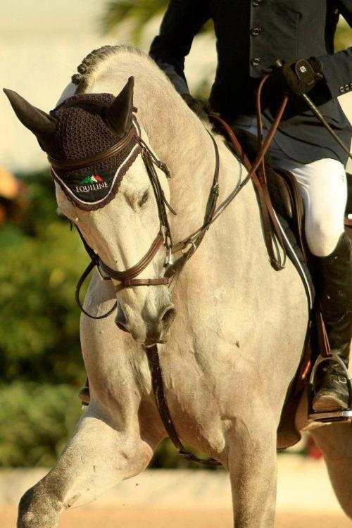 Hunter jumper dressage eventer horse