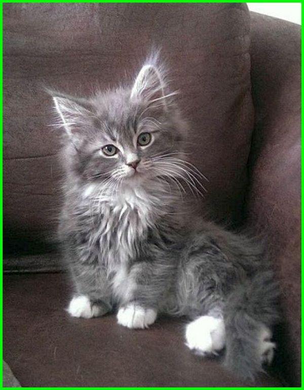 Gambar Kucing Imut Dan Lucu godean.web.id
