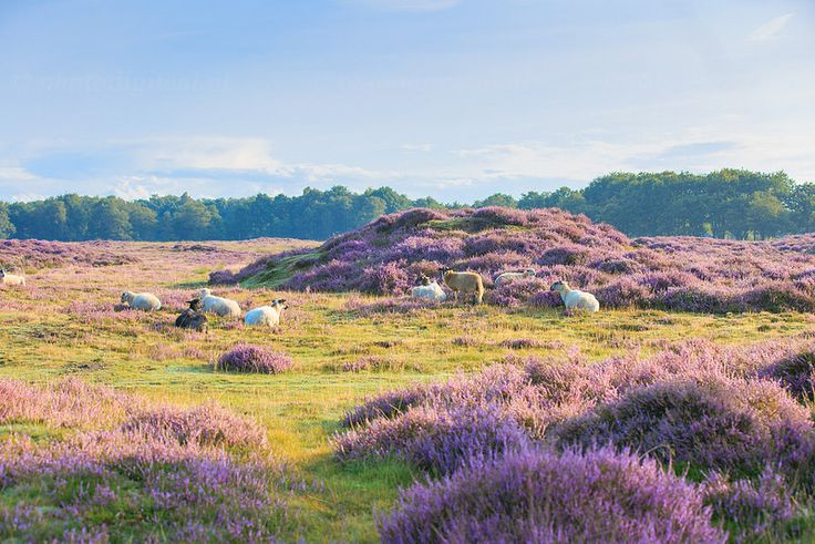 Drentse heideschapen in het ochtendzonnetje. Gasterse Duinen, Drenthe, Netherlands