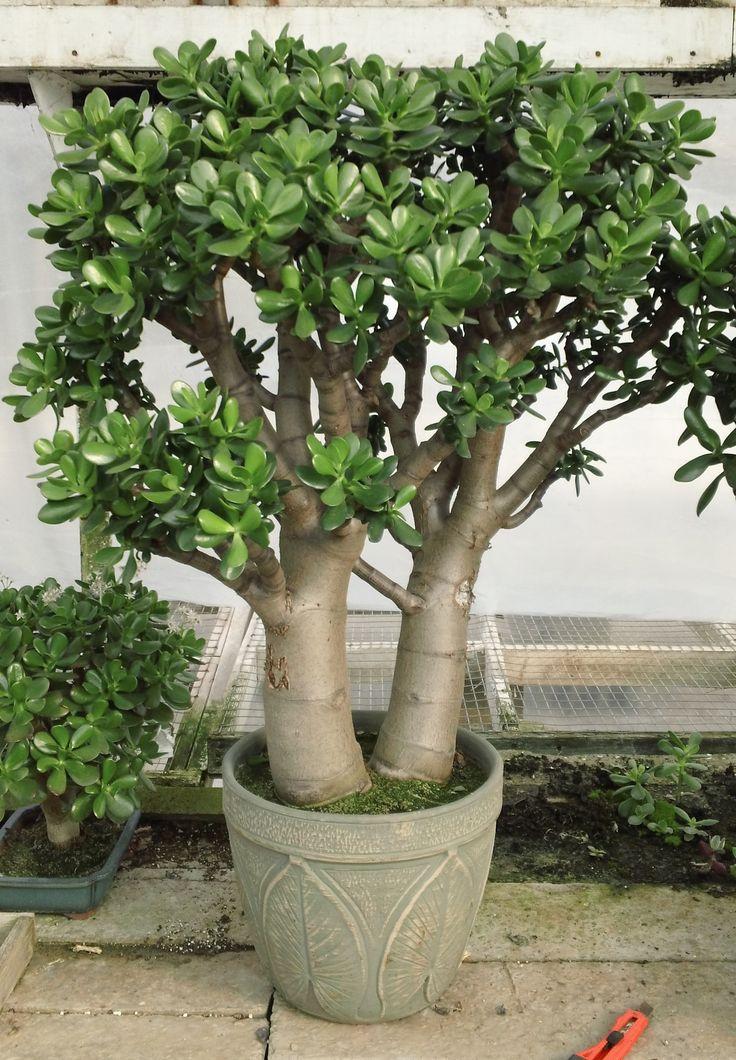 jade plant - Google Search