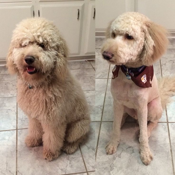 Haircuts For Goldendoodles Pictures: Goldendoodle Before And After Grooming. Shaved