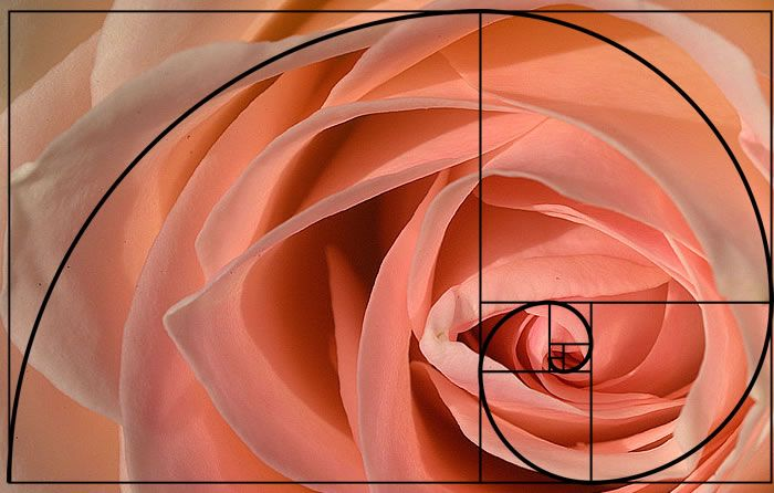An amazing image showing how nature is described by mathematics - the rose petals following the golden ratio spiral, from http://elliottfibonacci.blogspot.co.uk/