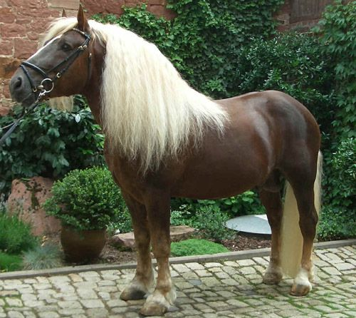 "According to Wikipedia, the Black Forest Horse, or the ""Schwarzwälder Kaltblut,"" is a rare draft horse breed originating in southern Germany."
