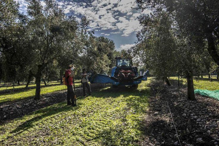 AUBOCASSA ha celebrado hoy la Fiesta de la Recolección de la aceituna, en la que se ha catado el aceite recién elaborado y del que Agustín Santolaya, director general, ha destacado que la cosecha 2016/2017 se caracteriza por un bajo rendimiento y una magnífica calidad.