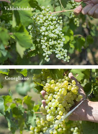 Look at these grape bunches of Glera (the most important grape variety for Prosecco Superiore), they're growing just a few kilometers apart, but they have a very different degree of ripeness. The greener is in Valdobbiadene, while the second one, yellowish, is located in Conegliano.