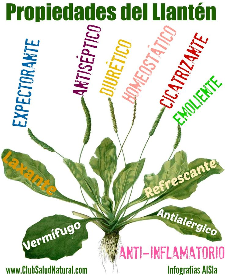 Llanten o Plantago Major Usos y Propiedades - Club Salud Natural #llanten