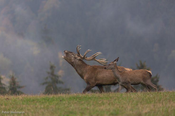 red deer buck calling - red deer, rutting season