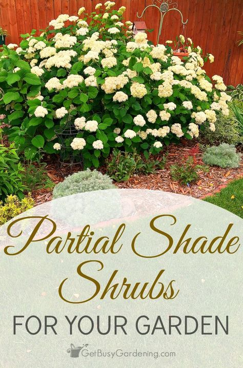 Some people think that if they don't have much sun, then they can't grow any shrubs in their garden. This is simply not true, and I think you will be pleasantly surprised with the amount of partial shade shrubs for sale these days! Here are a few of my favorites…