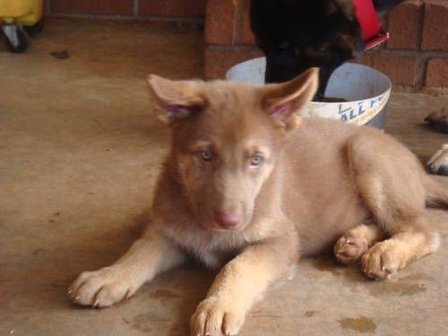 tan german shepherd puppy with blue eyes!