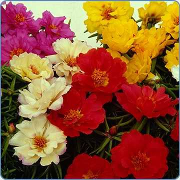 Check out the deal on Portulaca Sundial MSP Tropical Fruit Mix        500 seeds at Hazzard's Seeds