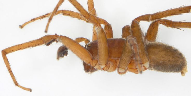 The wandering spider doesn't lure its prey with a web, instead hunting and stinging prey at night. Credit: Peter Jäger, Senckenberg