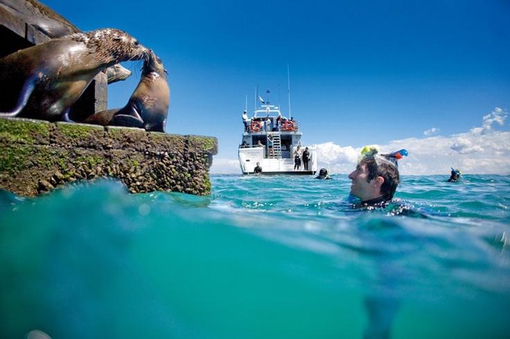 Meet the seals at Chinamans Hut - Port Phillip Bay.  Moonraker Dolphin Swims. Mornington Peninsula, Victoria, Australia.