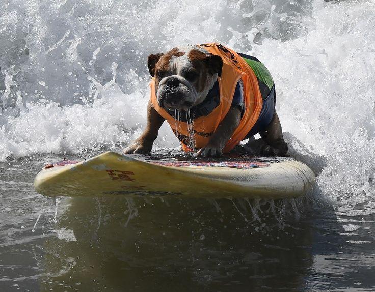 Le chien Sully lors d'une compétition canine de surf à Huntington Beach en Californie