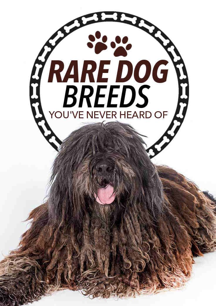 Have You Ever Heard Of These Rare Dog Breeds Bow Wow Pinterest