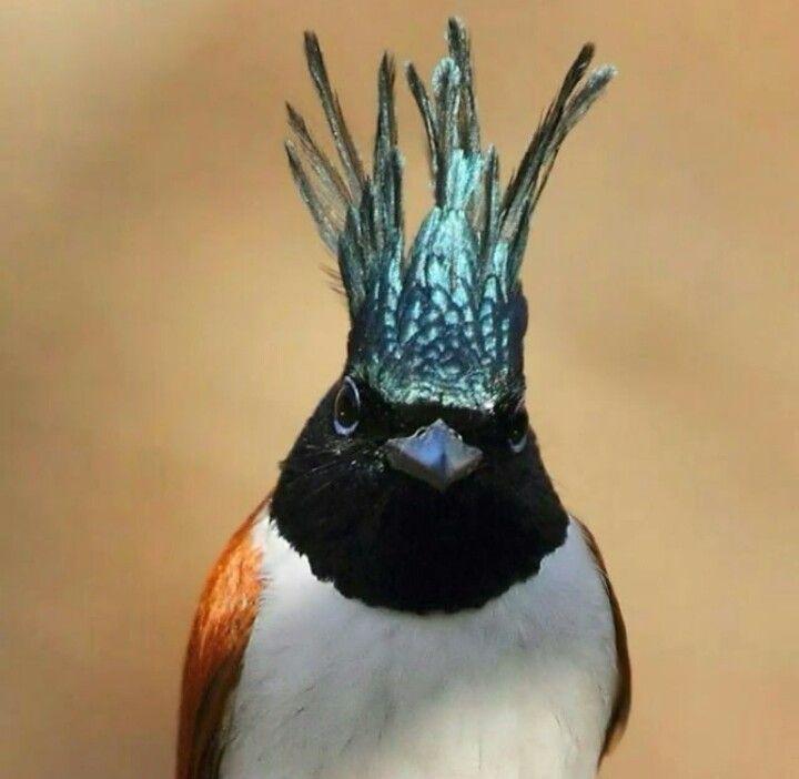 Crowned birds