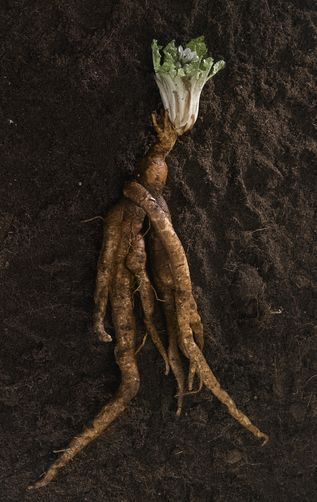 Mandrake root~ Mandrake (herb is toxic) ~ attributed with many magical powers. To guard against misfortune. Bring health and happiness to the household a mandrake root was placed on the mantelpiece. Magical uses - health, happiness, exorcism of evil spirits, fertility, prosperity, protection.